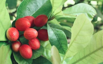 Fruit miracle ou comment transformer l'acide en sucre ?